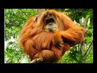 Winamax : découvrez les orangs-outangs sur l'île de Bornéo